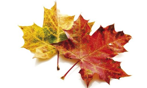 Leaf lesson: as with Autumn leaves, our skin and bone cells renew. Photograph: Image Broker/Rex