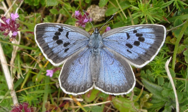 Live action: a butterfly collector who captured and killed the UK's rarest butterfly reminds us that it's better to appreciate something in the wild. Photograph: Butterfly Conservation/PA